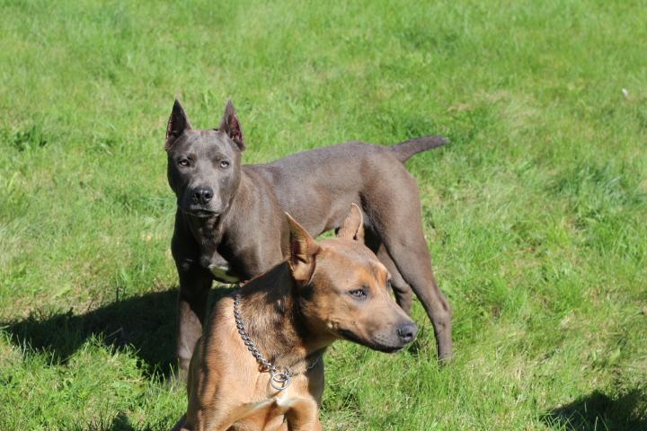THE BULLETPROOF HYBRID PROTECTION DOG | BulletProof Pitbulls
